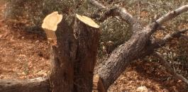 المستوطنون يقطعون اشجار الزيتون