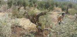 مستوطنون يقتلعون أشجار الزيتون في نابلس