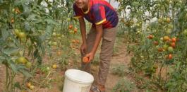 الدفيئات الزراعية في غزة