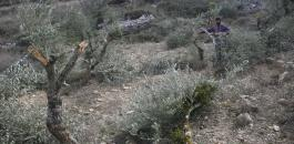 المستوطنون يقتلعون اشجار زيتون شرق الخليل