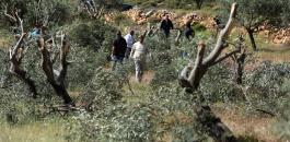المستوطنون يقتلعون اشجار الزيتون في سلفيت