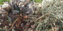 اقتلاع اشجار زيتون في سلفيت