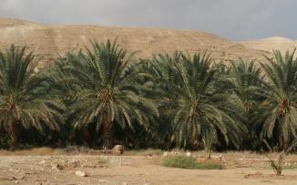 زرع نخيل أريحا في غزة