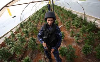 الشرطة تضبط 70 شتلة مارجوانا في يطا جنوب الخليل