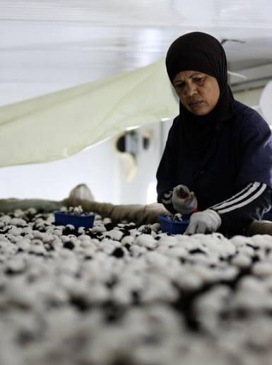 مهندسون فلسطينيون في أريحا ينشؤون مشروعاً لإنتاج الفطر الأبيض بقدرة انتاج عالية