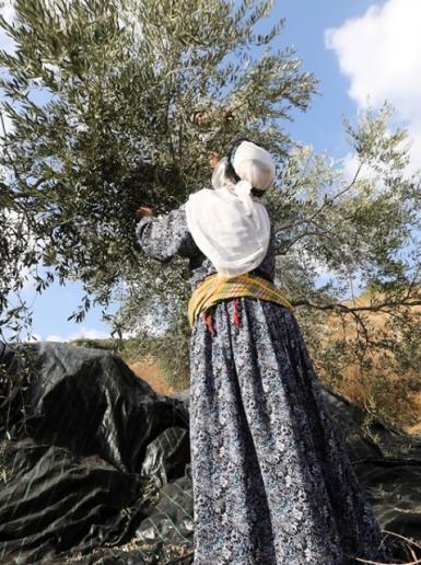 مسنات فلسطينيات يقطفن الزيتون