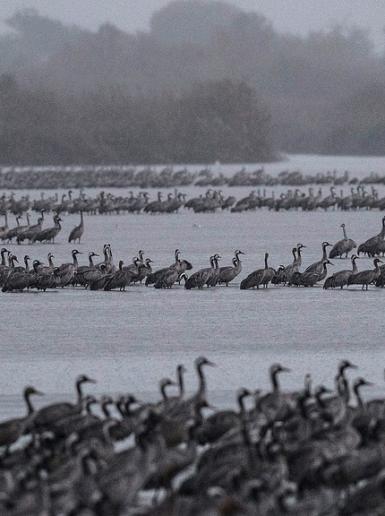 الطيور في شمال فلسطين المحتلة تتجهز للهجرة الى افريقيا لقضاء فصل الشتاء