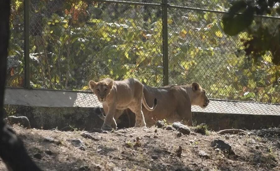 اصابة اسود بكورونا في حديقة هندية