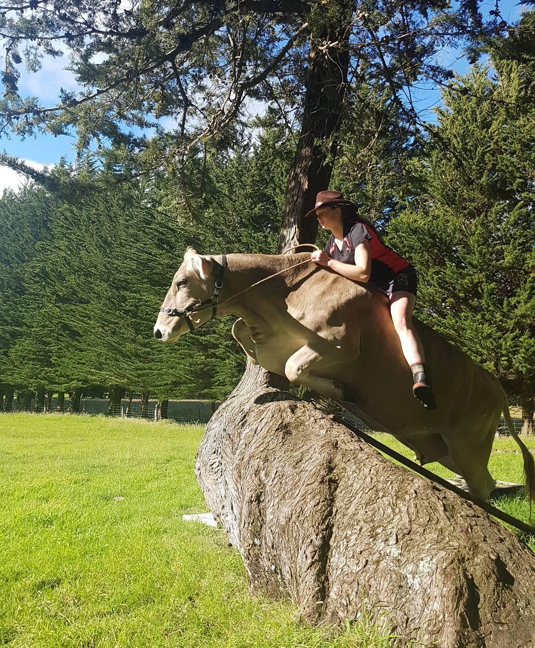 صورة لبقرة تتحول إلى حصان أصيل تقفز وتجري